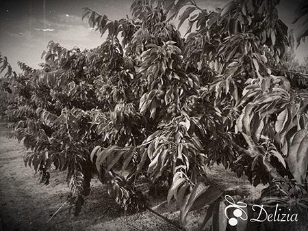 cerezos de cerezas delizia