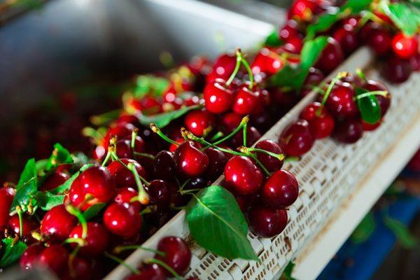 produccion de cerezas delizia