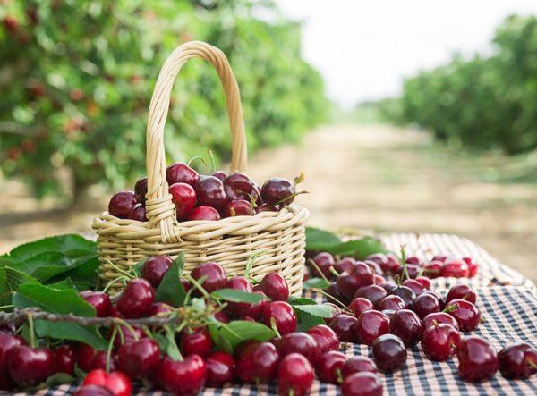 cesta encima de la mesa con cerezas delizia