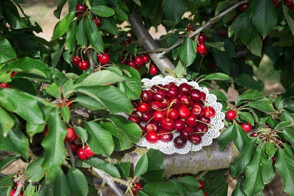 plato con cerezas delizia