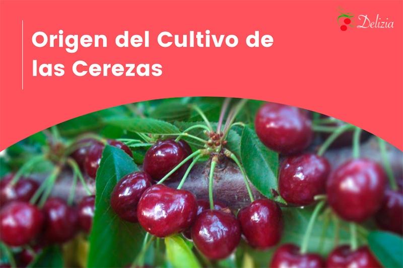 origen del cultivo de las cerezas