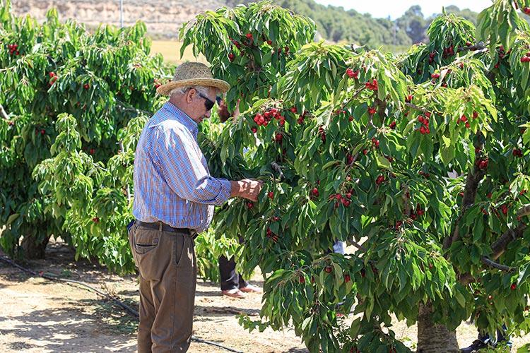 caracteristicas de los cerezos